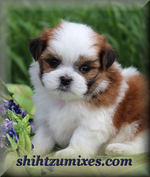 Adorable Shichon Puppies Or Teddy Bear Puppies For Sale Shichon Puppies Teddy Bear Puppies Puppies