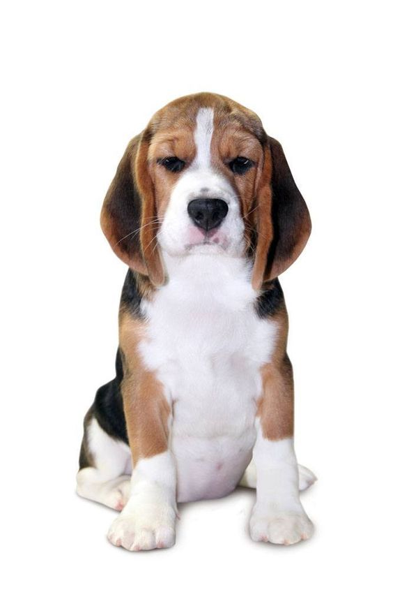 """""""What are you lookin at?"""" This #Beagle has a bit of an attitude Click on this image to find even more beautiful #puppy pictures"""