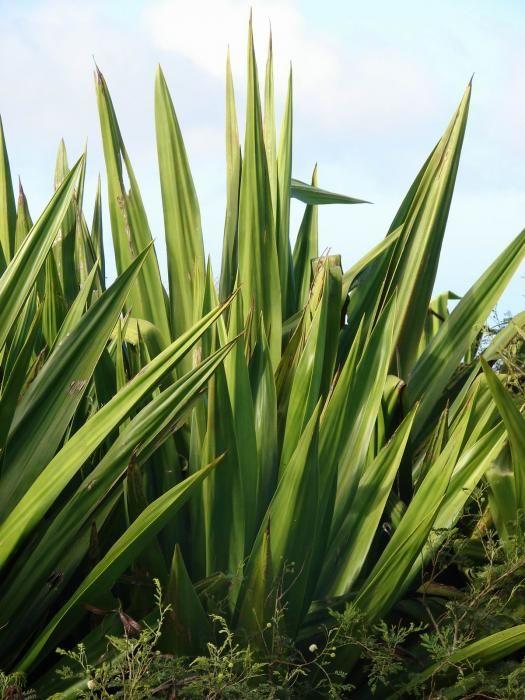 Furcraea Foetida Mauritius Hemp Mauritius Garden Design Plants