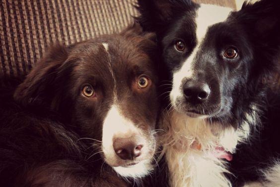Border collies :) Siblings love!