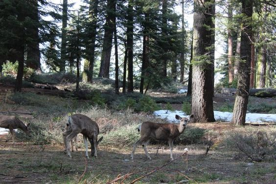 Sequoia National Park - Big Trees Trail. These deer I encountered on the Big Tree Trail were much more interested in the new shoots appearing out of the snow patches than they were in me. So I was able to enjoy some quiet time close to them as they made the most of winter's retreat.
