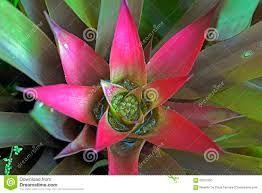 Resultado de imagen para genero plantas bromelias