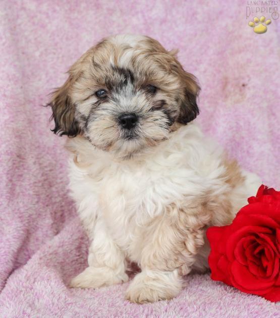 Ranger Shichon Puppy For Sale In Belleville Pa Lancaster