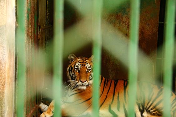 Image result for caged tiger