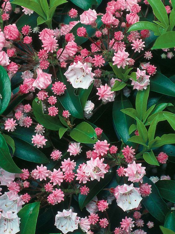 Kalmia latifolia  The calico bush is a dense shrub with shell-pink flowers opening from crimped buds, from late spring. The best forms include 'Freckles' with pink flowers and a spotted rim, and 'Pink Charm'.