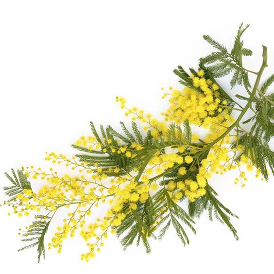 Acácia Mimosa, nossa flor desta semana.Foto: Pinterest.Para falar sobre o assunto, ninguém melhor que o querido Sergio Oyama Junior, do magnífico Orquídeas