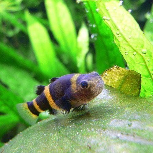 Buy Bumble Bee Goby Fish Online Allpondsolutions In 2020 Freshwater Aquarium Fish Tropical Fish Tanks Tropical Fish Aquarium