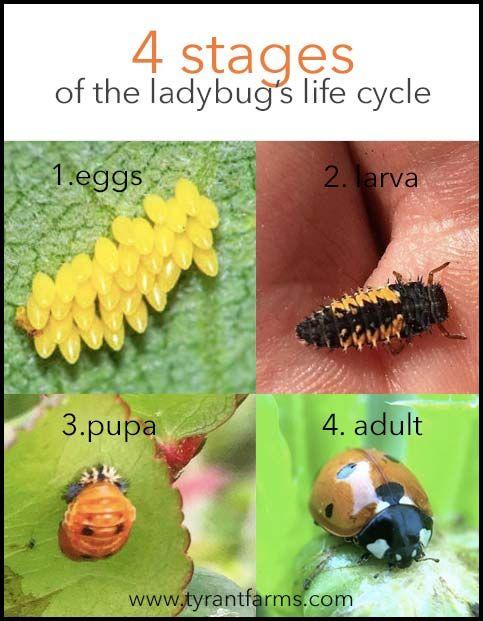 What Do Ladybug Larvae Look Like What Do Ladybugs Look Like At