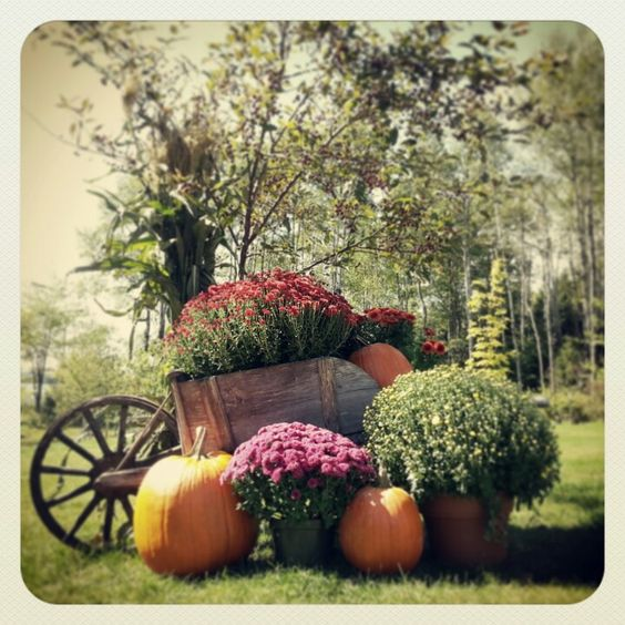 Fall decorating mums pumpkins corn stalks
