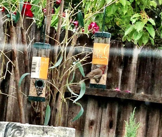 Birdie lovin the seeds from the dollar tree bird feeder❤♥