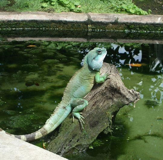 Chinese Water Dragon Tammie Really Wants One And I Am So On