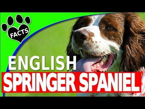 Dogs 101 English Springer Spaniel Animal Facts Youtube