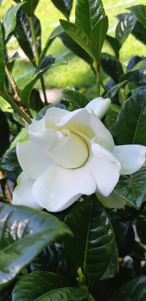 Gardenia Spiritual Meaning Golden Buddha Bodhi Tree Bodhi
