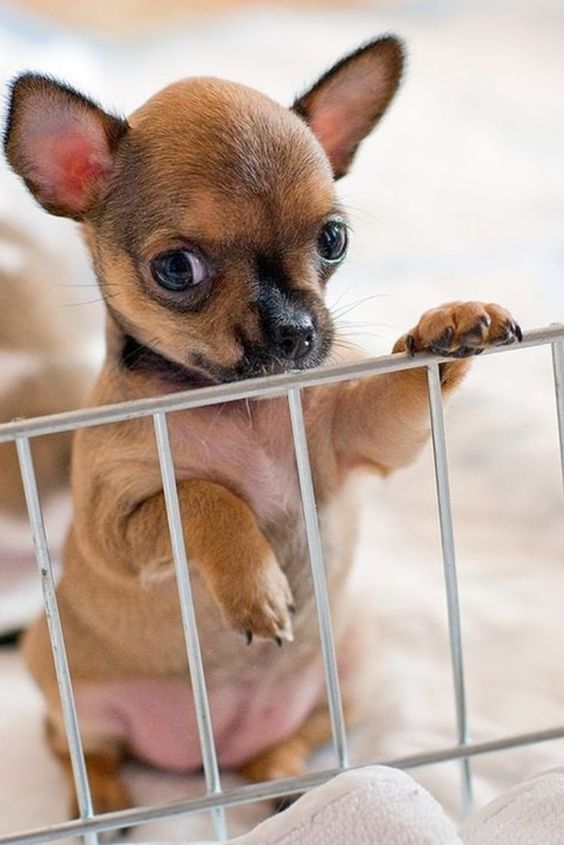 Chihuahua Puppies Cute Pictures And Facts Cute Animals