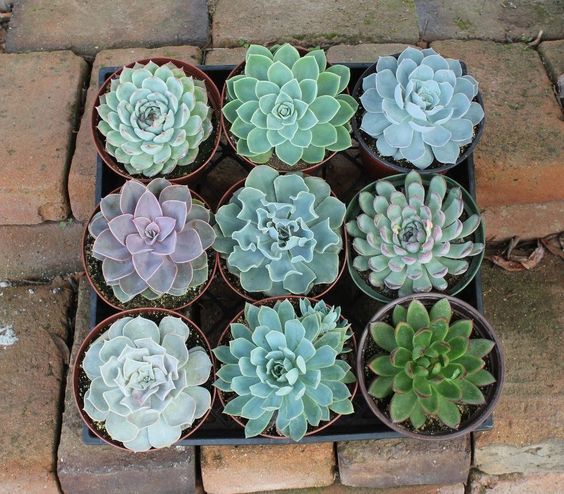 "6"" Echeverias Succulent bulk wholesale wedding Favor gifts at the succulent source - 7"