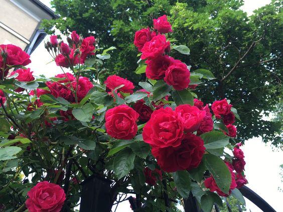 Розовый куст крупным планом
