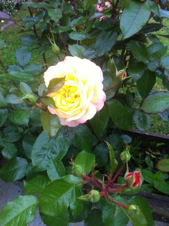 Stunning tinted Rose