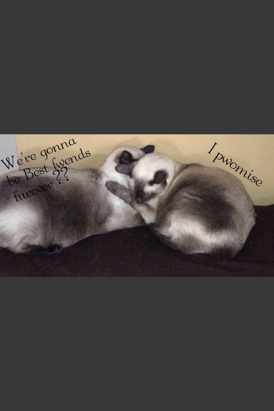 Tonkinese cats friends for life