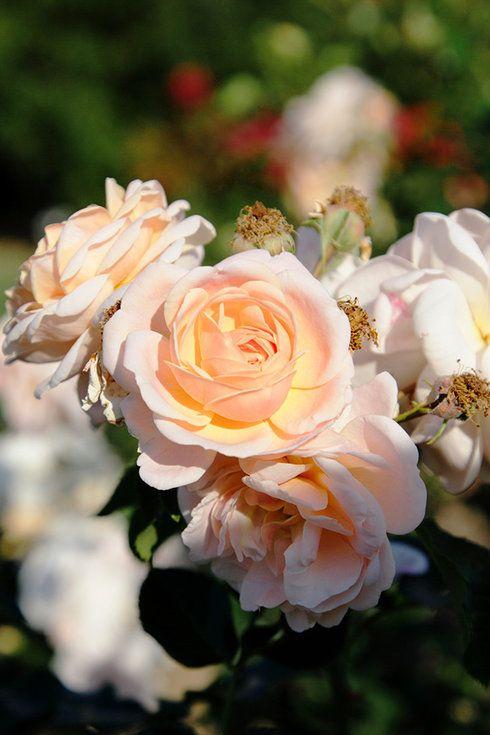 Floribunda Rose!