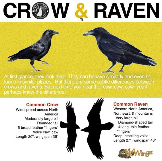 Crows Ravens: #Crow & #Raven. Also: Ravens: not scared of anything, especially people.
