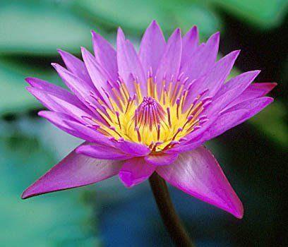 how to grow pink lotus seeds