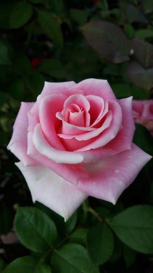 Baby I Love You Rose Flower Beautiful Rose Flowers Rose