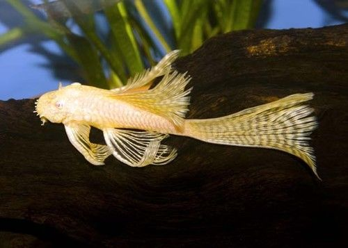 Long Fin Albino Bristlenose Plecostomus Available With One Day Shipping Ancistrus Sp Is Also Know Tropical Freshwater Fish Aquarium Fish Live Aquarium Fish