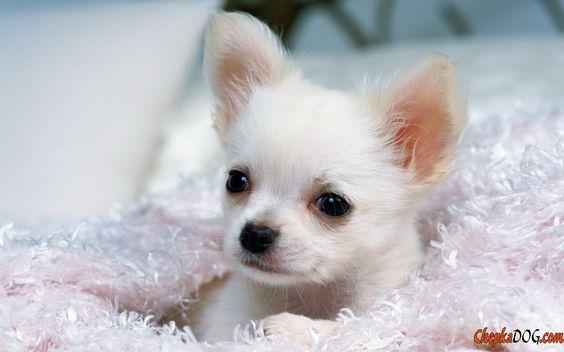 Pocket-Miniatur-Hunde