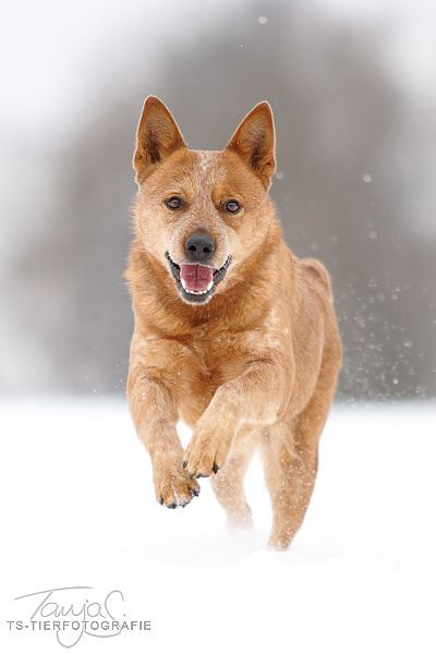 Australian cattle dog, Cattle dogs and Cattle on Pinterest