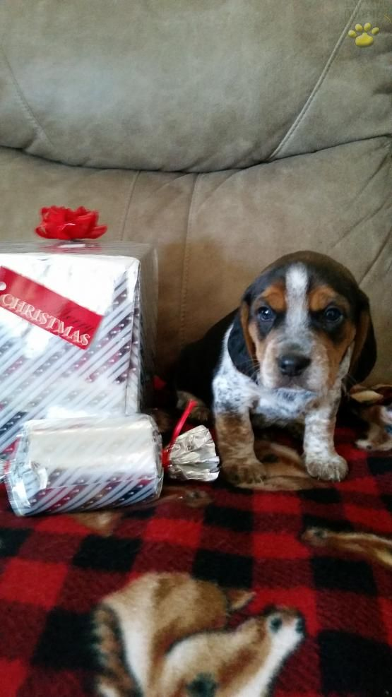 Zeke Beagle Mix Puppy For Sale In Millersburg Oh Lancaster Puppies Beagle Puppy Puppies For Sale Beagle Mix Puppies