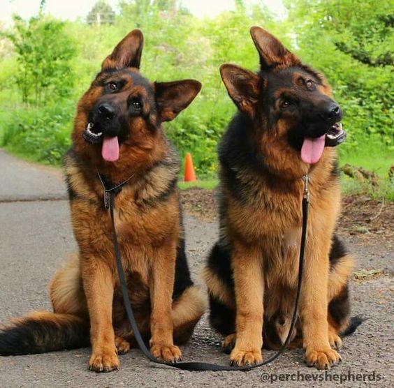 Two German Shepherd Dog Twins