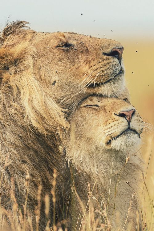 Leonine Affection, Masai Mara, Kenya by David Lloyd Wildlife Photography Check out his website for prints, workshops and photographic safari...