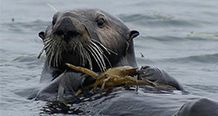 Sea Otter Ron Eby USFWS