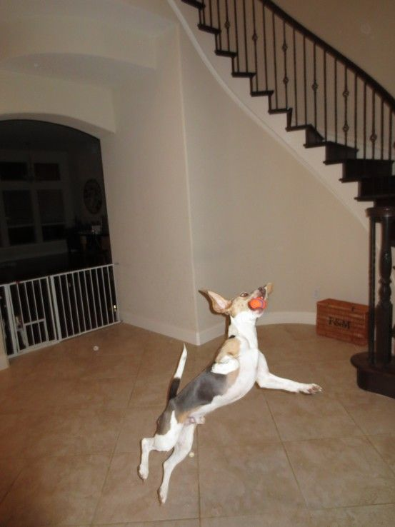 Flying Beagle .Beau