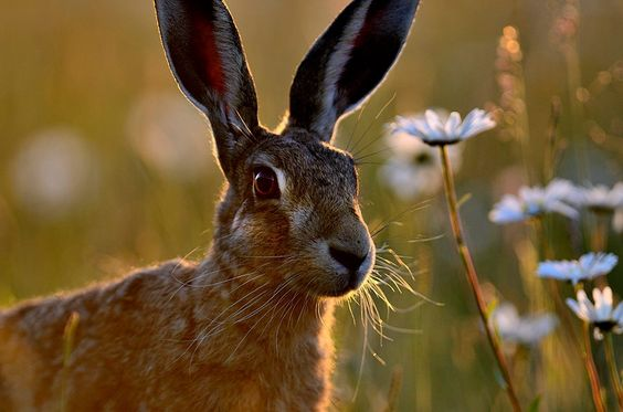 beautiful Hare