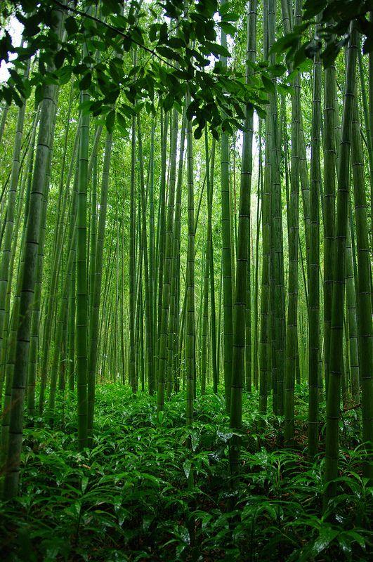 Tenryu-Ji Shrine's Bamboo trail, Arashiyama, Kyoto, Japan. #Kyoto #緑 #Green