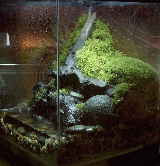 A nice looking stream bed paludarium i think aquarium - Begonia argentata ...