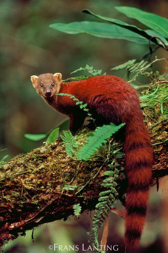 Malagasy ring-tailed mongoose photo - Galidia elegans - G32949 ...