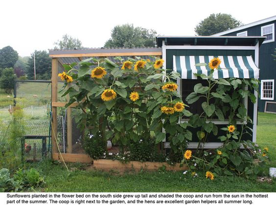 They grew sunflowers up against the coop to help provide shade in the summer and the hens ate any bugs that came around.: