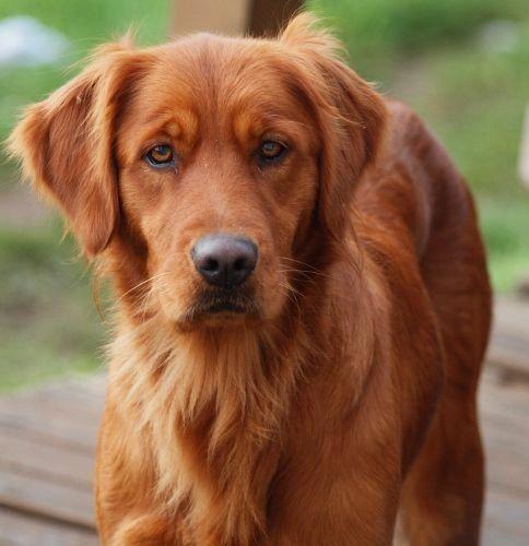 Methods Of Feeding Golden Retrievers In 2020 Red Golden Retriever Puppy Red Retriever Puppy Red Retriever
