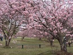 flor da cerejeira