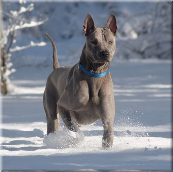 Thai Ridgeback Dog #SnowDogs #Snow #dogs Puppies winter holiday Check more at http://hrenoten.com
