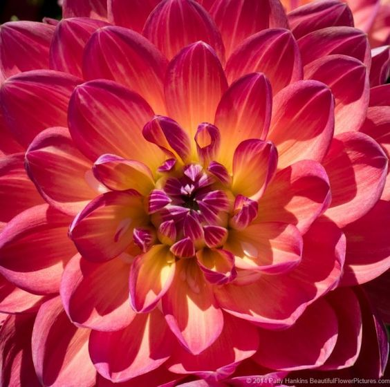 Pam Howden And Kidd S Climax Dahlias Beautiful Flowers Pictures Very Beautiful Flowers Dahlia