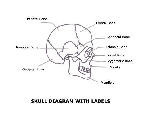 a list of bones in the human body with labeled diagrams the o 39 jays skulls and google. Black Bedroom Furniture Sets. Home Design Ideas