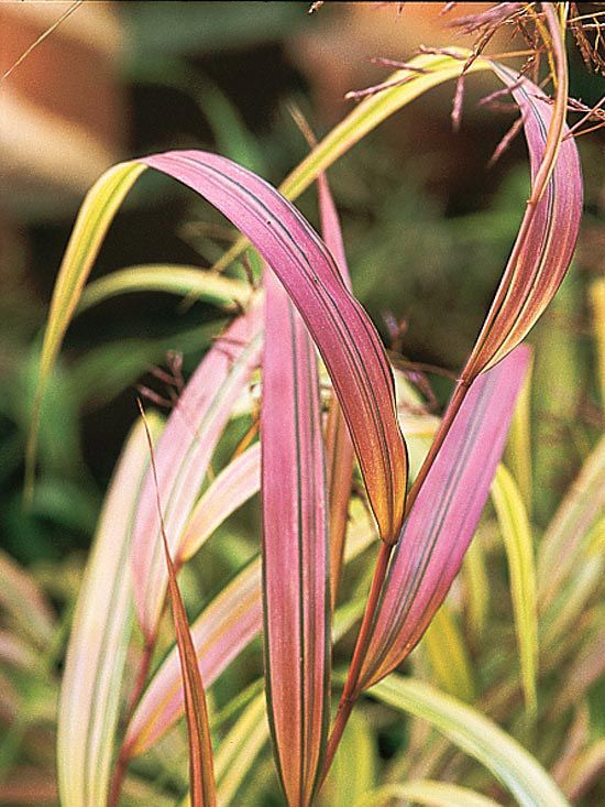 Keeping ornamental grasses happy happy spring and photo for Ornamental grass with yellow flowers