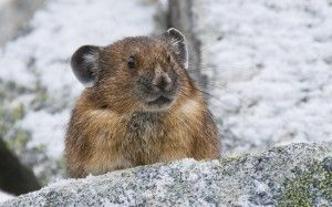 The pika, threatened by climate change--shown in Rocky Mountain National Park.