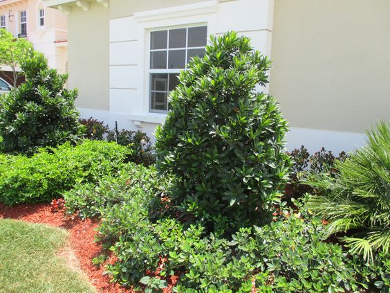 Landscapes compact and ficus on pinterest for Hardy low maintenance perennials