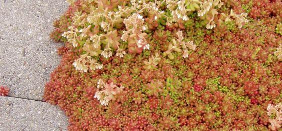 Mauerpfeffer 'Coral Carpet' - Sedum album 'Coral Carpet'