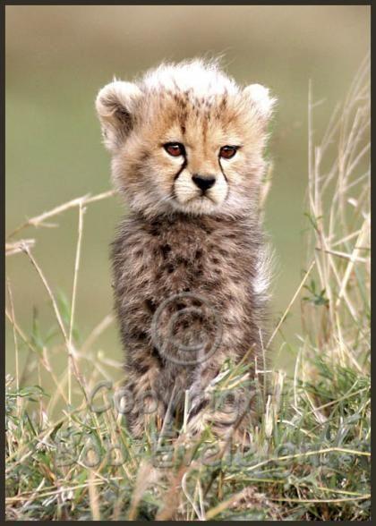 Big Cat Diary Cheetah Names