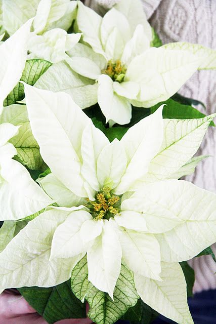 .Love white poinsettias....and a nice idea for a white Christmas wedding